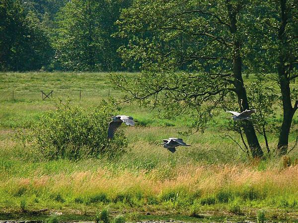3 Fischrreiher im Flug. Im Hintergrund grüne Wiesen und Sträucher