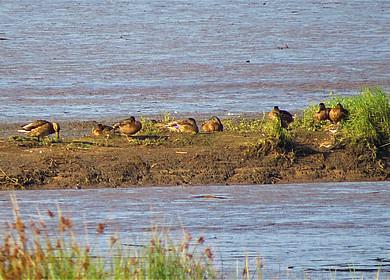 Das Bild zeigt eine Entengruppe auf einer Sandbank